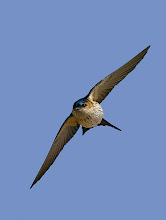 Photo: Shot of the Day - Red-rumped Swallows are pretty fast, this shot took about a week of trying to finally get.