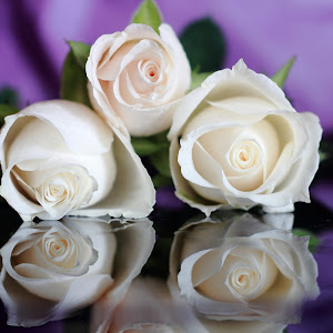 _MG_2334white roses.JPG