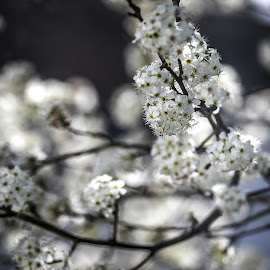 Spring Flowers by Ed Stines - Flowers Tree Blossoms ( spring flowers, white flowers, tree blossoms, edstines, pixoto, tree flowers, flowers, spring, springtime, spring blossoms, blossoms,  )