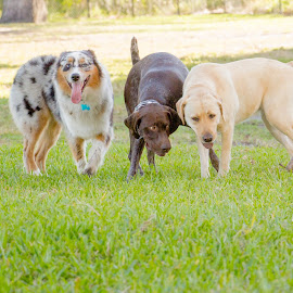 trio by Meaghan Browning - Animals - Dogs Playing ( dogs, park, labrador, group, gsp, variety, aussie )