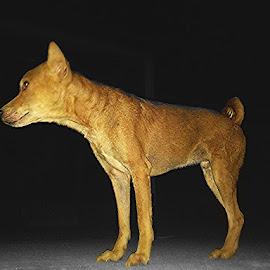 A dog  by Sobhraj Debnath - Animals - Dogs Portraits ( nature, innocent, animal, brown hair, dog portrait )