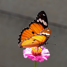 Butterfly by Isak Meyer - Animals Insects & Spiders