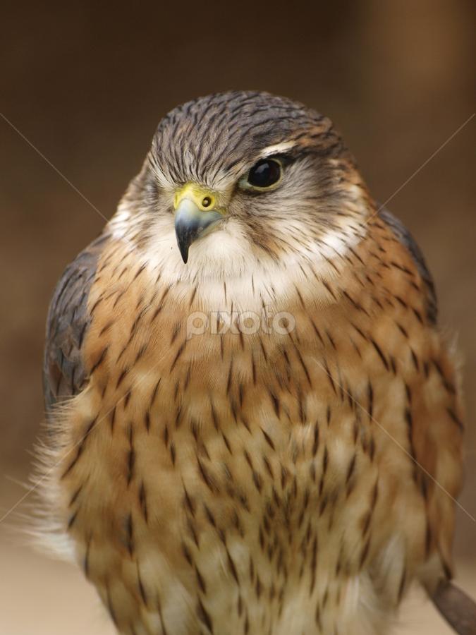 Merlin 1 by Garry Chisholm - Animals Birds ( garry chisholm, bird of prey, falcon, kestrel, merlin, hawk )