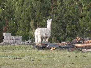 Photo: sad. one lone alpaca in someone's yard. Alpacas need to be with other alpacas.