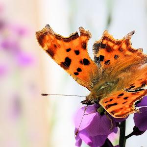 Comma butterfly 2a.JPG