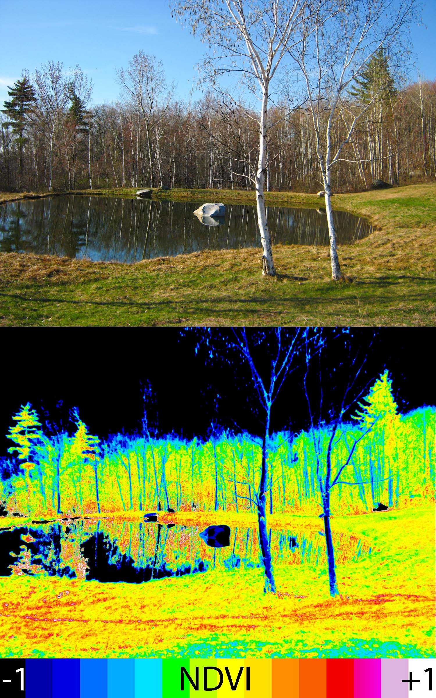 Photo: Normal color photo (top) and normalized difference vegetation index (NDVI) image. NDVI image was derived from two color channels in a single photo taken with a camera modified with a special infrared filter. Note that tree trunks, brown grass, and rocks have very low NDVI values because they are not photosynthetic. Healthy plants typically have NDVI values between 0.1 and 0.9.