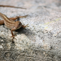 Brown anole (♂)