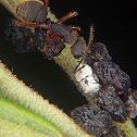 Bulbous treehopper