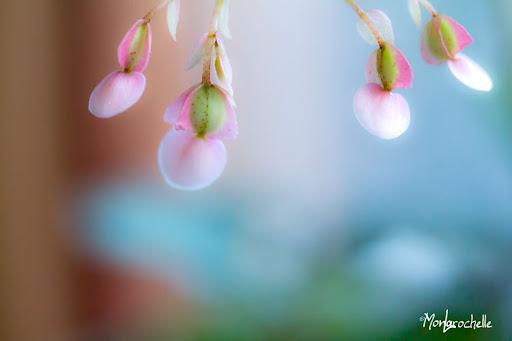 Petites fleurs de Begonia rex BegoniaRex110224_0086MR