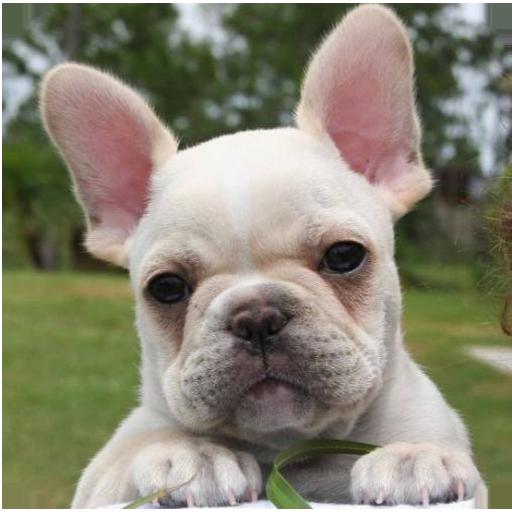 法國鬥牛犬 攝影 App LOGO-APP試玩