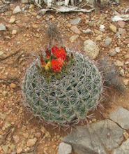 Photo: Flowering barrel cactus.