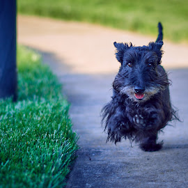Neighbor's Dog by Svemir Brkic - Animals - Dogs Running ( running, outdoors, street, black, dog,  )