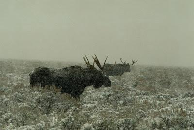 Teton Valley Vacation Rental Victor, Idaho - Moose