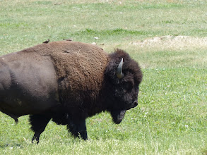 Photo: Bison in Wind Cave NP
