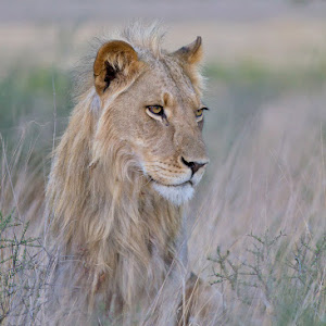 POTY_Animal Portrait_Male Lion.jpg