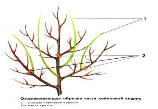 Омолаживающая обрезка куста войлочной вишни