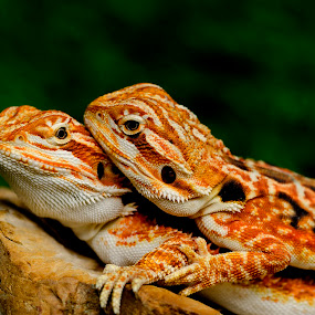 by Lim Darmawan - Animals Reptiles