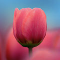 3D Tulip Live Wallpaper APK