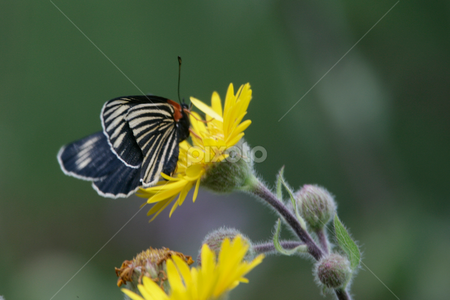 Butterfly and flower by Cristobal Garciaferro Rubio - Nature Up Close Flowers - 2011-2013 ( butterfly, flower yelloow )