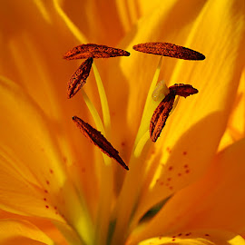 Lily Anthers by Chrissie Barrow - Flowers Single Flower ( stigma, macro, red, stamens, lily, petals, anthers, yellow, filament, garden, closeup,  )