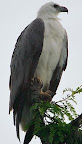 White-Bellied Sea-Eagle(Haliaeetus leucogaster)
