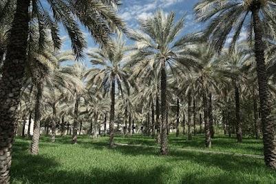 Palmen in der Altstadt von Nizwa