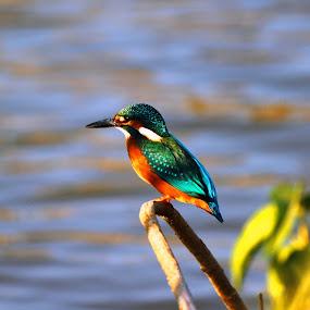 Kingfisher by Udhay Krishnamurthy - Animals Birds ( wildlife, india, birds )