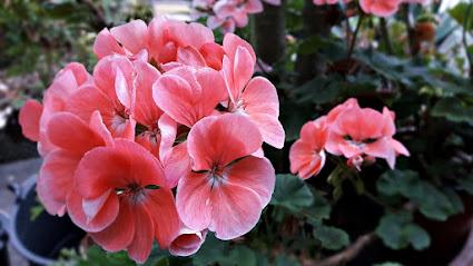 Kwiaty Balkonowe Dlugo Kwitnace Jakie Wybrac Twojogrodek Pl