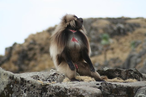 Gelada Babook, Simien Mountains National Park