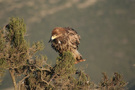 Tawny Eagle, Simien Mountains National Park