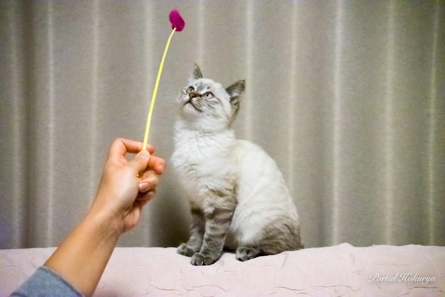 猫じゃらし大好きチコちゃん