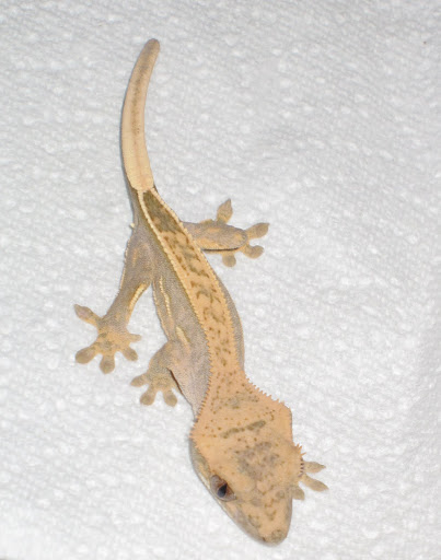 Full Pinstripe Crested Gecko with Lateral Pinstripes