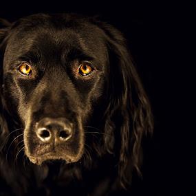 Pelle - my friend by Jens Klappenecker-Dircks - Animals - Dogs Portraits ( pelle muensterlaender labrador friend )