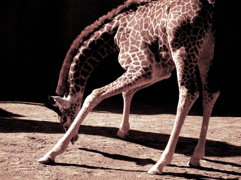 giraffe; click for previous post