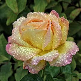 BA rose 34 by Michael Moore - Flowers Single Flower (  )