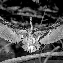 Great Blue Heron by Debbie Quick - Black & White Animals ( great blue heron, debbie quick, nature, vassar farms and ecological preserve, debs creative images, new york, waterfowl, outdoors, bird, animal, black and white, heron, wild, hudson valley, poughkeepsie, wildlife )