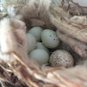 Brown-headed Cowbird nestling (with finch nestlings)