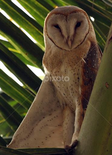 Barn Owl One Wing Half Open Wildlife Novices Only Pixoto