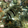 Pez mariposa tres bandas / Threebanded butterflyfish