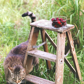 cat with cherries by Debi Henry - Animals Other ( ladder, grey cat, grassy, summer, cherries )