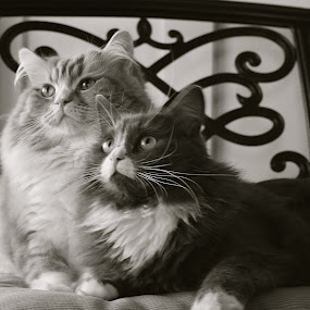 by Joelle McGraw - Animals - Cats Portraits ( looking, cats, 2, animals, black and white, pets, portraits )