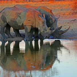 Rhino Reflections by Anthony Goldman - Animals Other Mammals ( africa, rhino, reflection, mammal, sunset, water, whito, wildlife,  )