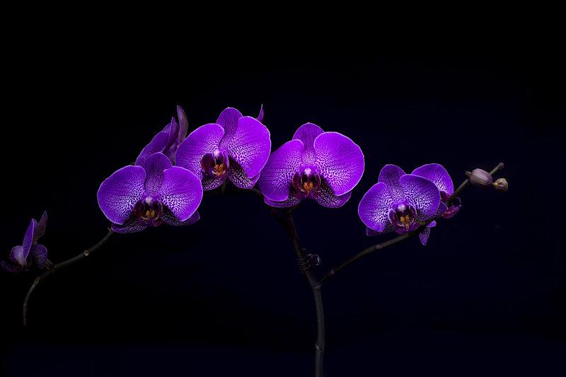 sweet orchid  di FoxStudio