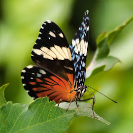 Butterfly by Dave Lipchen - Animals Insects & Spiders ( butterfly )