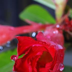 Simple Dew by Enggus Fatriyadi - Nature Up Close Flowers - 2011-2013