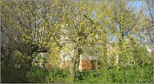 Photo: Artar argintiu  (Acer saccharinum) - de pe Calea Victoriei, bloc B17-B18 - 2018.04.10   http://ana-maria-catalina.blogspot.ro/2018/04/artar-argintiu-acer-saccharinum.html