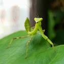 Asian Mantis Taiwan - Heirodula sp.