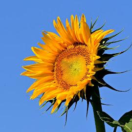 Single sunflower by Ruth Overmyer - Flowers Single Flower (  )
