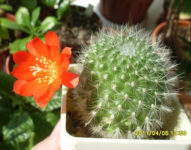 Наши кактусы - Страница 7 SDC18060
