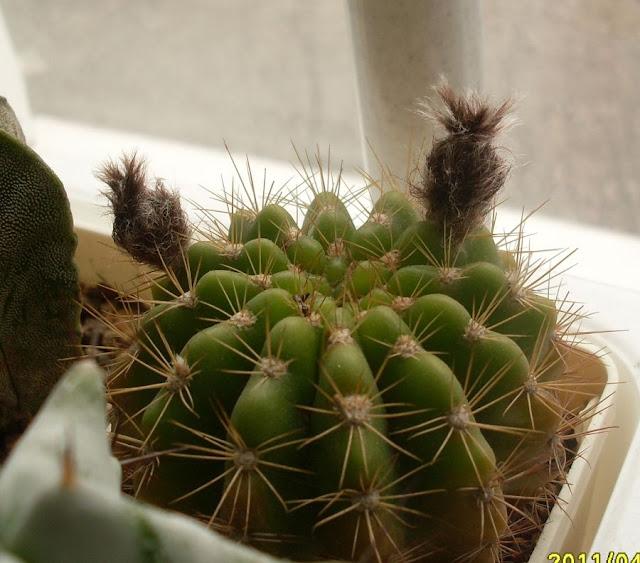 Наши кактусы - Страница 8 SDC18379